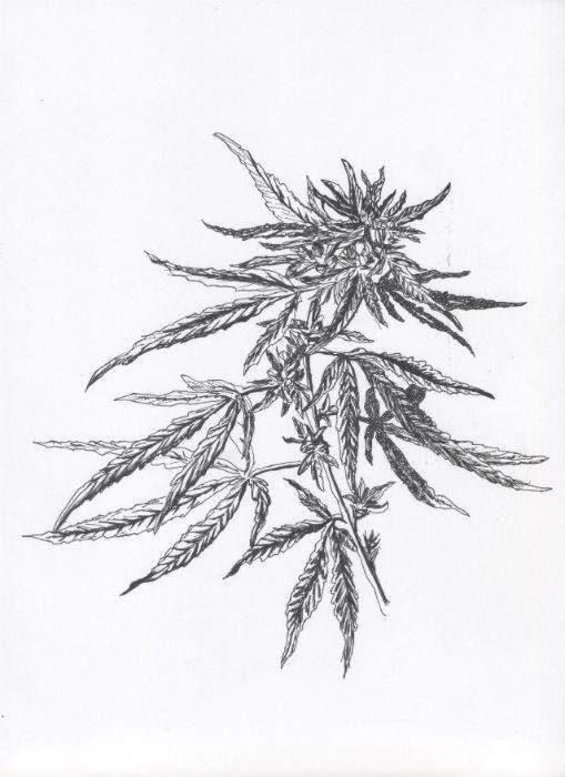Ganja #1 - Botanical