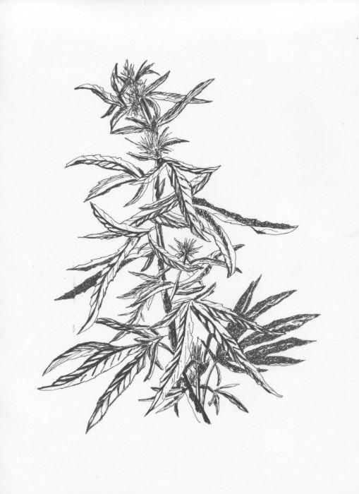 Ganja #2 - Botanical